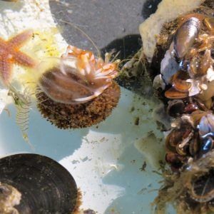 Einsiedlerkrebs-mit-Seestachelbeere-als-Wasserball