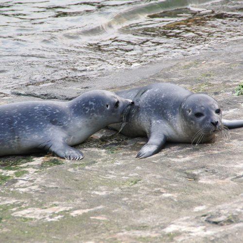 Zwei-Seehunde-Nannen